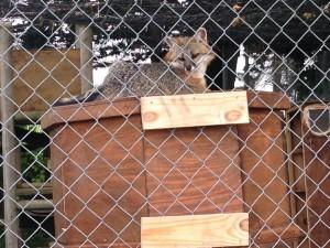 scarlet-fox